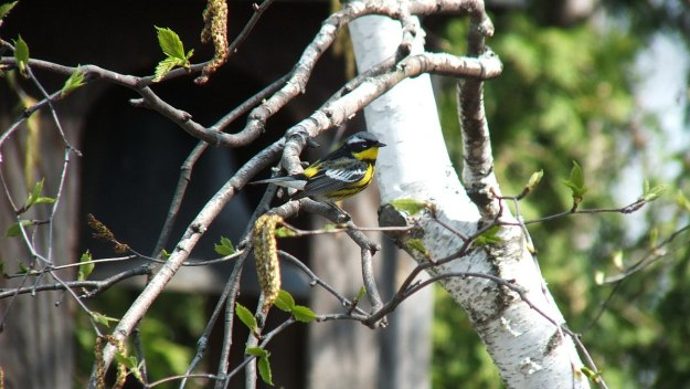 magnolia warbler sitting on birch tree limb - toronto