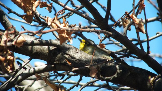 pine warbler on apple tree_toronto_ontario