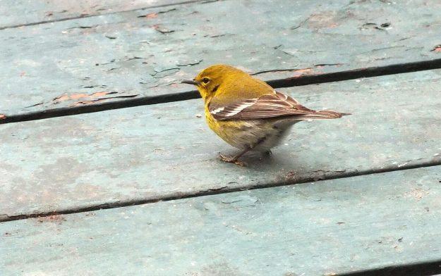 pine warbler on deck_toronto_ontario 2