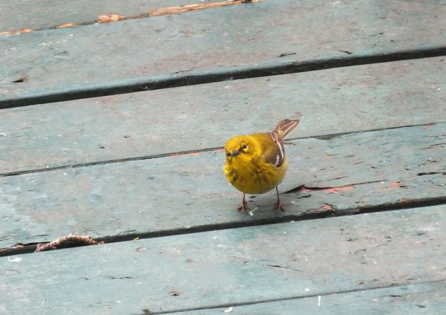 pine warbler on deck_toronto_ontario