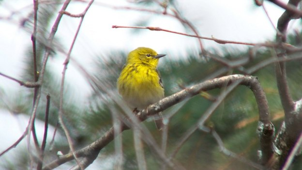 pine warbler sits in apple tree_toronto_ontario