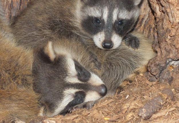 raccoon babies inside toronto tree - ontario