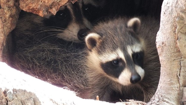 raccoon cub with mother in tree - toronto