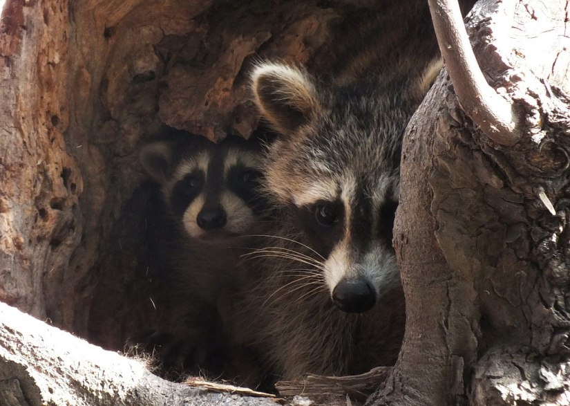 raccoon mother with cub in tree nest - toronto