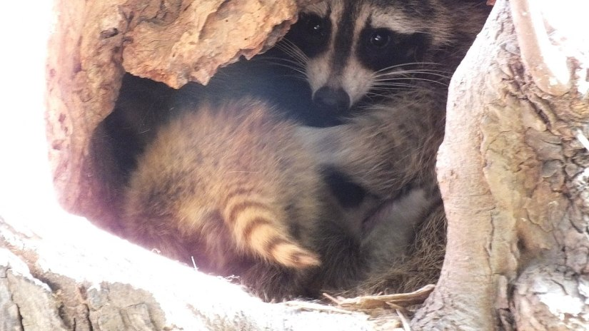 raccoon mother with cub in tree - toronto