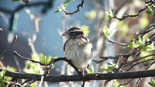 rose-breasted grosbeak - female - in toronto backyard may 10 2014