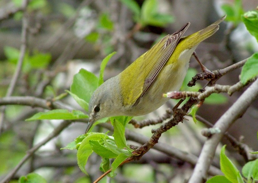 tennessee warbler checks out leaves - toronto