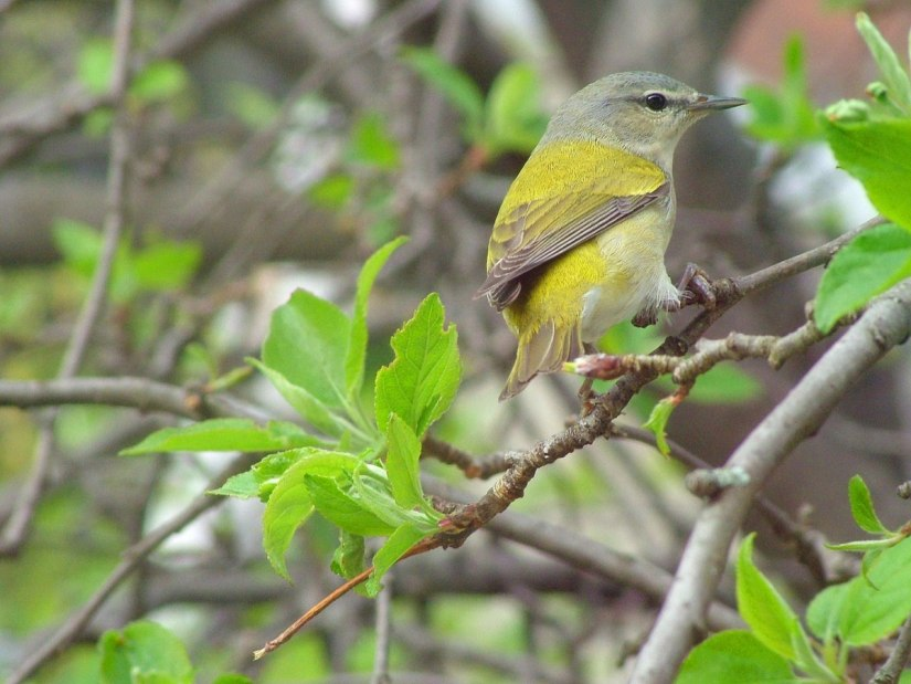 tennessee warbler in our toronto backyard