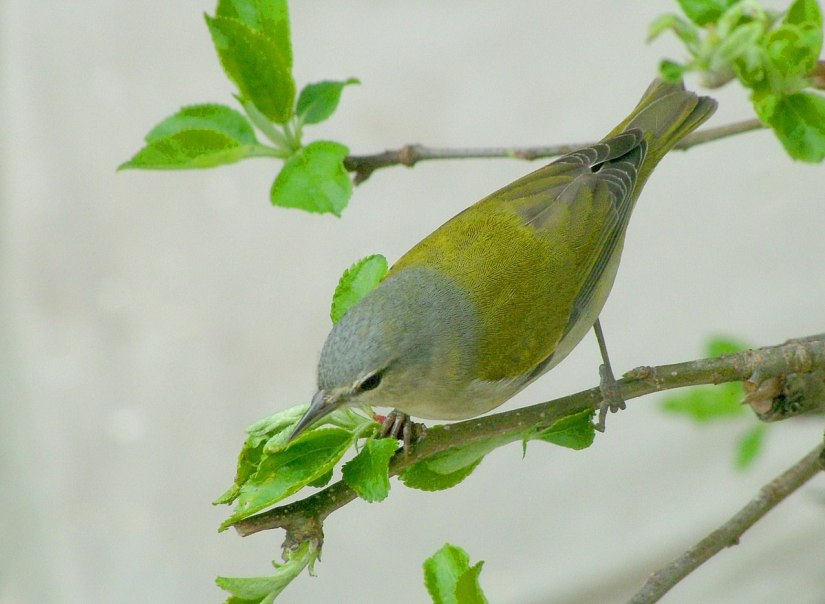 tennessee warbler looks up - toronto