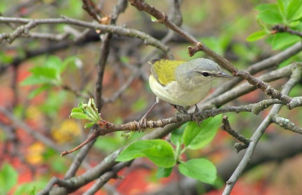 tennessee warbler standing on limb - toronto