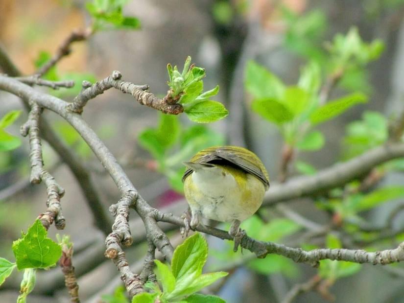 tennessee warbler - toronto