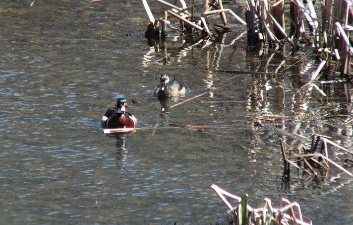 wood ducks in reeds at grindstone marsh - hamilton