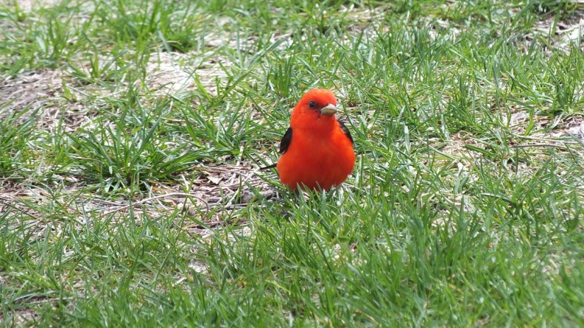Scarlet Tanager male, ashbridges bay, toronto