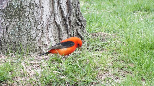 Scarlet Tanager on ground - ashbridges bay park - toronto