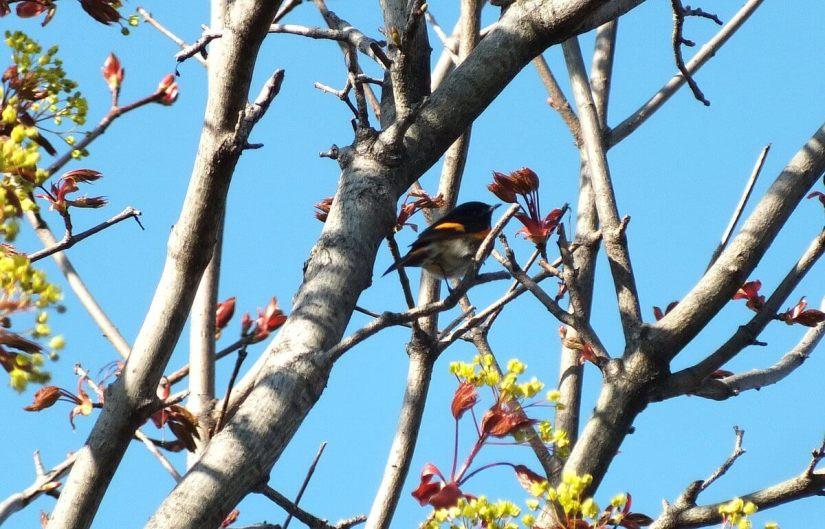 american redstart male ashbridges bay park toronto