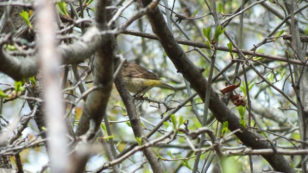 palm warbler in tree - ashbridges bay park - toronto 2