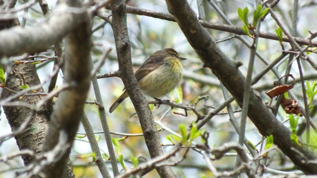 palm warbler - male - ashbridges bay park - toronto