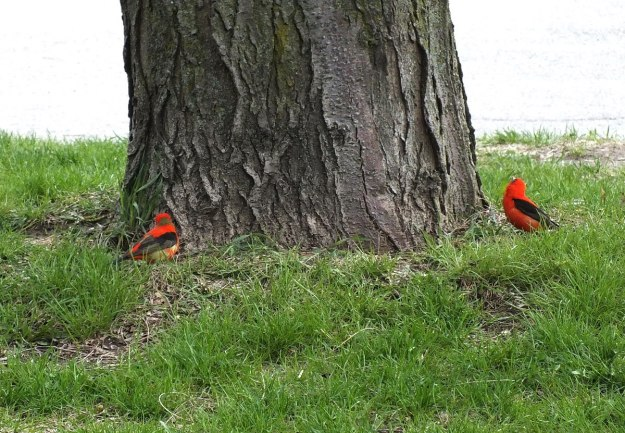 two Scarlet Tanagers - ashbridges bay park - toronto
