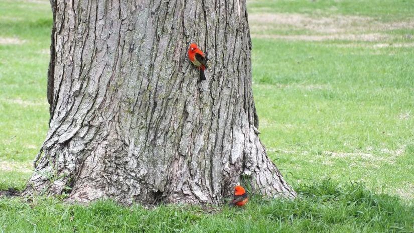 Scarlet Tanagers, males, ashbridges bay park, toronto