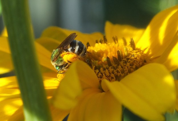 green metallic bee collects pollen - toronto - ontario 2