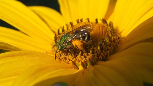 green metallic bee collects pollen - toronto - ontario 3
