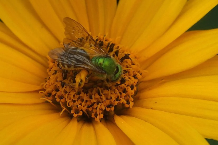 green metallic bee collects pollen - toronto - ontario 8