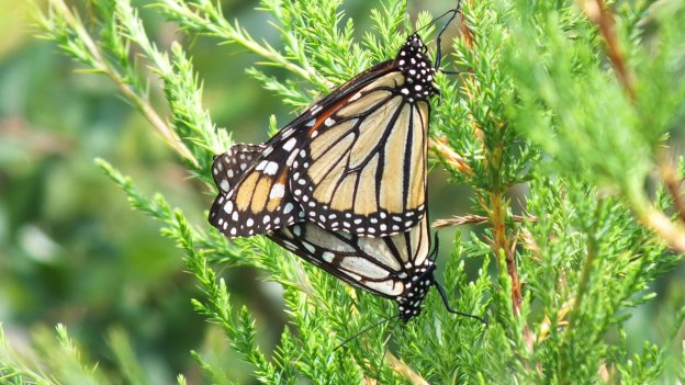 Mating Monarch butterflies at lower reesor pond, Toronto, Ontario