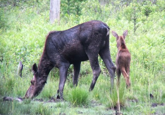 moose - female and calf - in algonquin provincial park - ontario 2