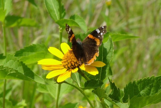 red admiral butterfly on sunchoke - lower reesor pond - toronto 6