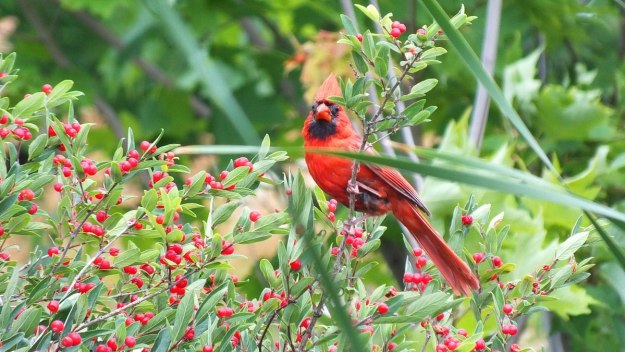 red cardinal at milliken park - toronto