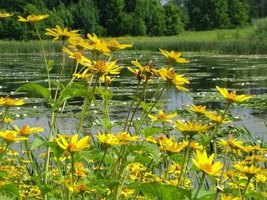 sunchokes growing at lower reesor pond - toronto 3