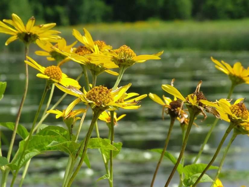 sunchokes, lower reesor pond, rouge national urban park, toronto