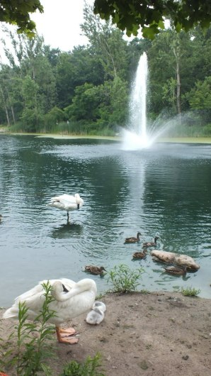 trumpeter swan at a toronto park - july 2014