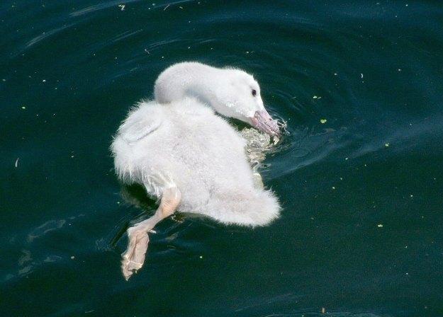 trumpeter swan cygnet at milliken park - toronto