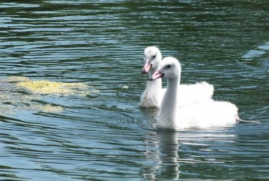 trumpeter swan cygnets at milliken park - toronto 2
