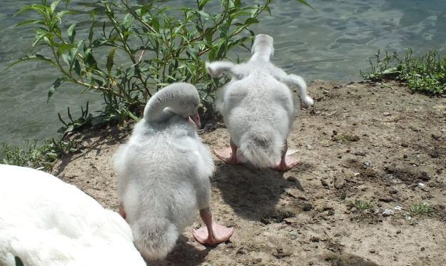 trumpeter swan cygnets at milliken park - toronto 3