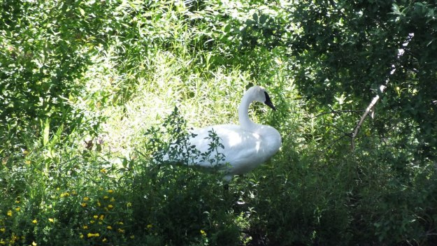 trumpeter swan - milliken park - toronto - ontario - july 2014