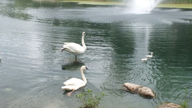 trumpeter swans at a toronto park - july 2014