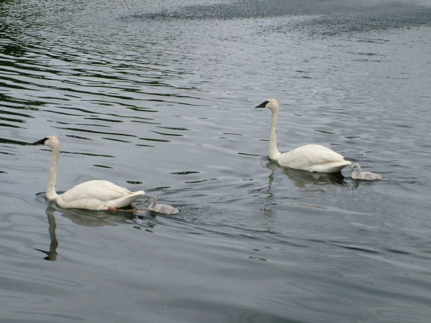 two trumpeter swans with cygnets swimming at toronto park - july 2014 14