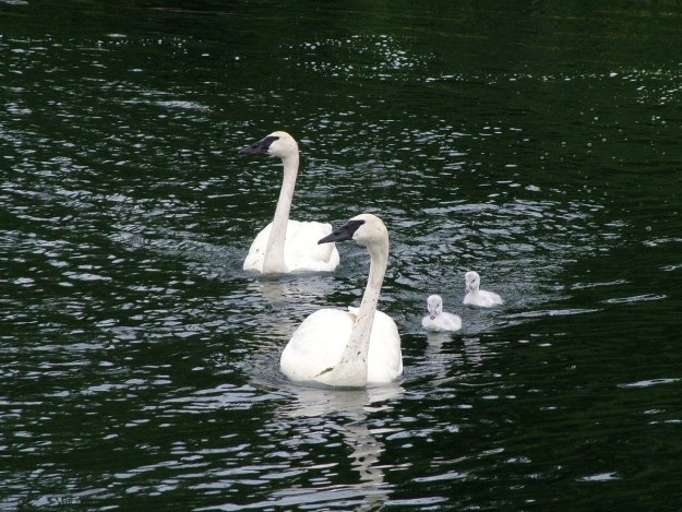 two trumpeter swans with cygnets swimming at toronto park - july 2014