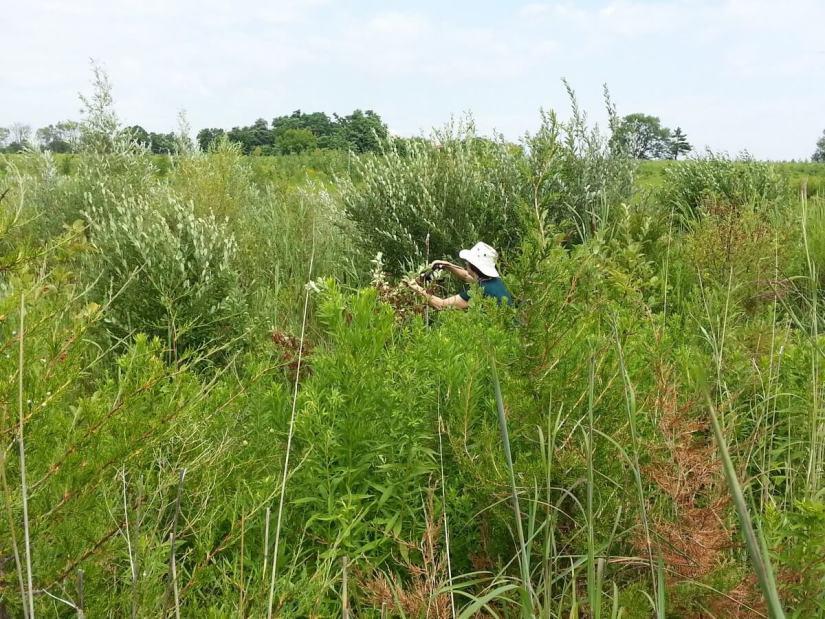 wild plants at lower reesor pond - toronto