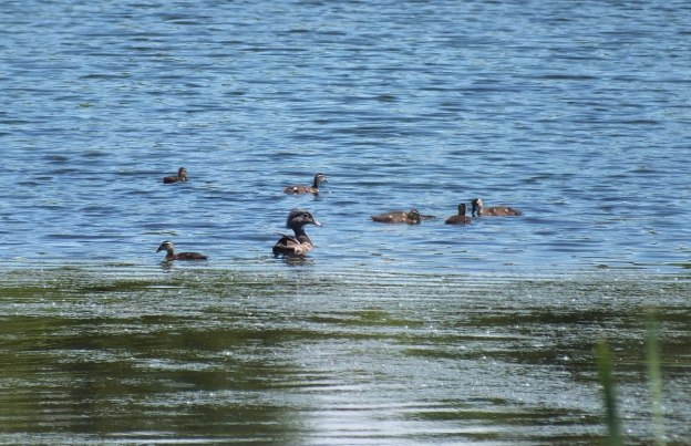 wood duck -female -with babies at rouge national urban park - toronto 2