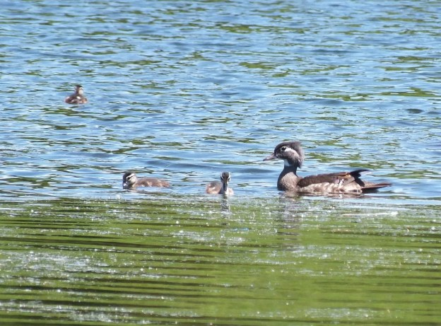 wood duck -female -with babies at rouge national urban park - toronto 4