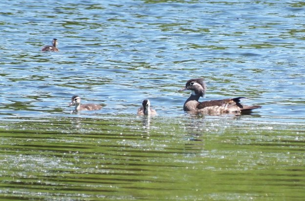 wood duck -female -with babies at rouge national urban park - toronto