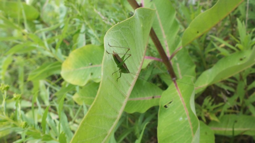 Common conehead katydid