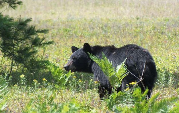 black bear - algonquin park - ontario 2