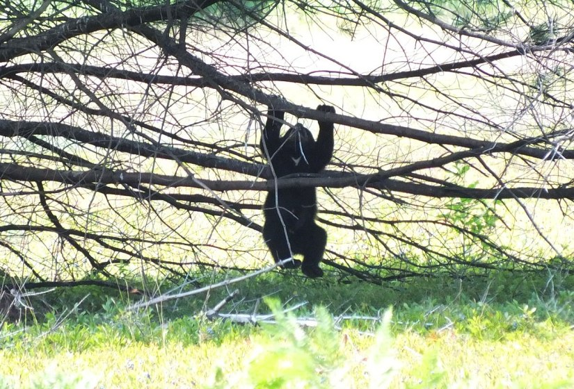 black bear cub hangs in tree - algonquin park - ontario 1
