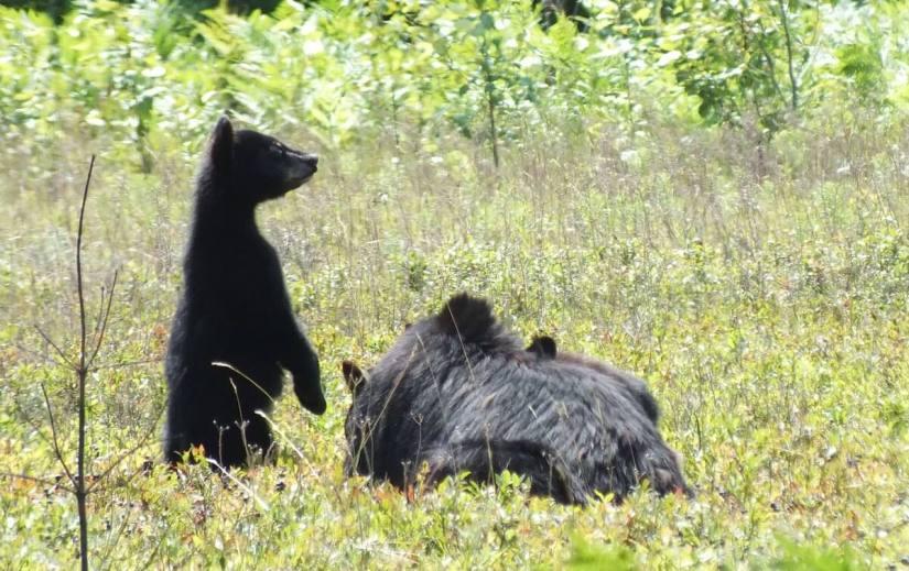 black bear eat blue berries - algonquin park