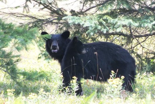 Black bear mother with her cub in Algonquin Park in Ontario, Canada