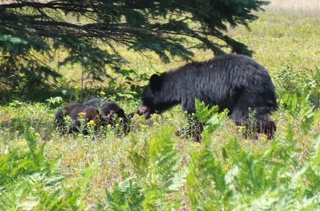 black bear with cubs - algonquin park - ontario